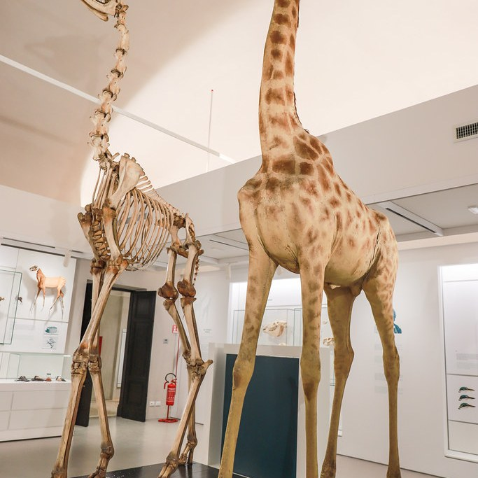 giraffe al museo Kosmos di Pavia